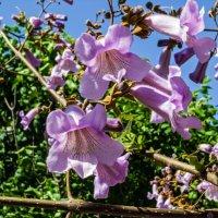 Цветок дерева Павловнии :: Варвара