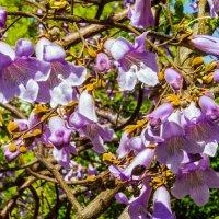 Цветы дерева Павловнии войлочной :: Варвара