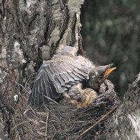Тесновато тренироваться в гнезде :: Domna Kuznechic