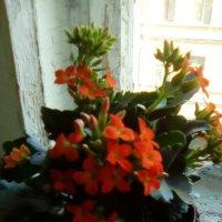 На окне расцвел цветочек аленький! :: Светлана Калмыкова