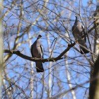 пара вяхирей :: linnud