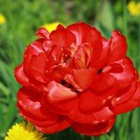 Тюльпан :: Tiana Ros