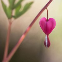 Дицентра - Разбитое сердце. :: Елена Ахромеева