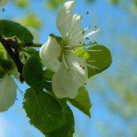 Сады цветут :: Ирина Белорусочка