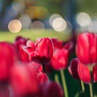 тюльпаны :: Анна Семенова