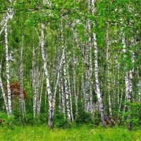 Русский лес :: Сергей Чиняев