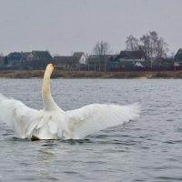 А белый лебедь на пруду....... :: Paparazzi