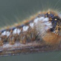 гусеница :: Седа Ковтун