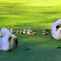 Лебеди на изумрудном озере. Лебединая семья :: Nina Yudicheva
