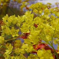 Пчёла на цветущем клёне :: Nina Yudicheva