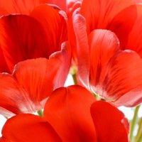 тюльпаны :: Марина Коршикова