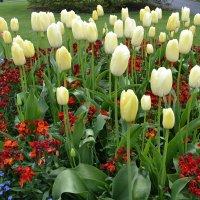 Пора тюльпанов. :: zoja