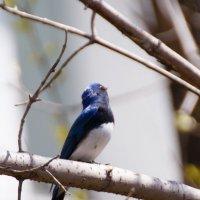 Самец синей мухоловки :: Alexander Markov
