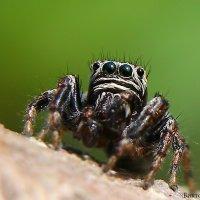 паук :: Laryan1
