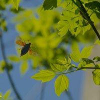 Полёт майского жука! :: Павел Данилевский