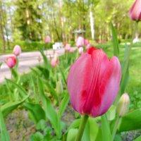 Розовый тюльпан :: Анастасия Белякова