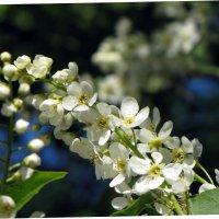 Черемухи цвет :: veera (veerra)