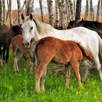 Лошади в березнике :: Сергей Чиняев