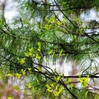 В весеннем лесу :: Сергей Чиняев