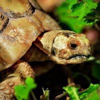 vit5  черепаха :: Vitaly Faiv