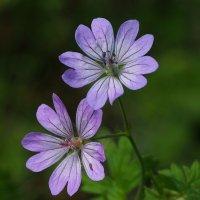 Фиолетовая парочка :: Swetlana V