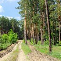 В  бескрайнем сосновом лесу. :: Валентина ツ ღ✿ღ