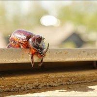 Уставший летать жук... :: марк