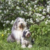 яблони цветут :: Лариса Батурова