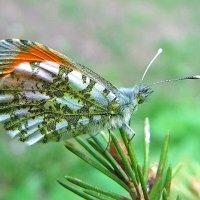 бабочка Зорька, самец :: Генрих Сидоренко