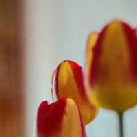 Тюльпаны :: Вероника