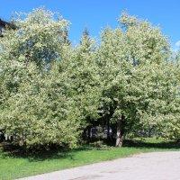 Яблони цветут Какое чудо :: раиса Орловская