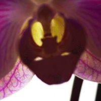 Моя орхидея... :: Береславская Елена