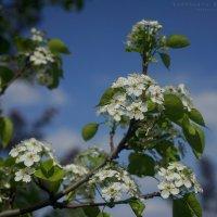 весеннее цветение :: Ярослава Бакуняева