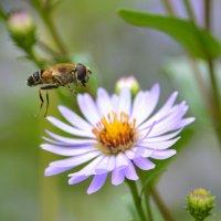 пчёлка :: Алексей Могилёв