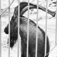 горный козел :: Ирина Сафонова