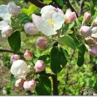 Яблоневый цвет :: Лидия (naum.lidiya)