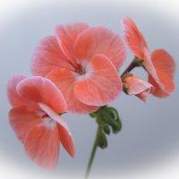 цветок герани :: татьяна
