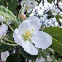 в цветущем мае :: татьяна