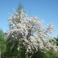 Жасминовое дерево :: Валерия