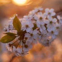 Вишня в закате :: Антон Смирнов
