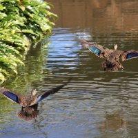 Летят утки и...(без гусей.) :: Антонина
