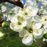 Один раз в год сады цветут :: Елена Милая