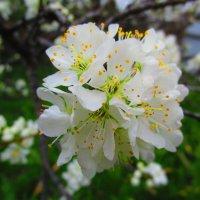 Цветут сады ! :: Татьяна ❧