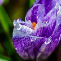 Весенние цветы :: Юлия Егорова