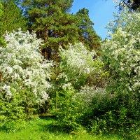 Лесные яблони :: Александр Садовский
