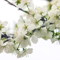 Белое цветение :: Виталий