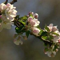 Будущие яблоки :: Anna S.