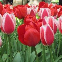 Фестиваль тюльпанов в ЦПКиО :: Маера Урусова