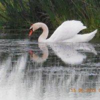 Лебедь :: игорь