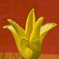 Жёлтый на красном. :: Андрей Синицын